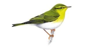 Wood warbler - RSPB